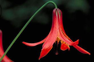 Lilium canadense - Image: Lillium canadense Canada Lily