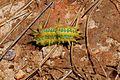 Limacodidae 001.jpg