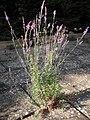 Linaria purpurea in garden.jpg