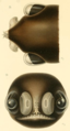 Linophryne indica Brauer 1908 Figs 8 9.png