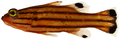 Liopropoma rubre - pone.0010676.g053.png