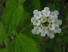 Lippia graveolens, known as Mexican Oregano (11628265214).jpg