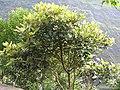 Litsea floribunda-2-upper kothaiyar-tirunelveli-India.jpg