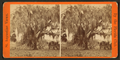 Live oaks covered with moss on the St. Johns River, near Mandarin, from Robert N. Dennis collection of stereoscopic views.png
