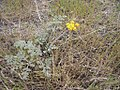 Lomatium foeniculaceum plant-4-07-04.jpg