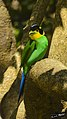 Long-tailed Broadbill - Psarisomus dalhousiae.jpg