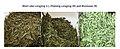 Longjing cultivars.jpg