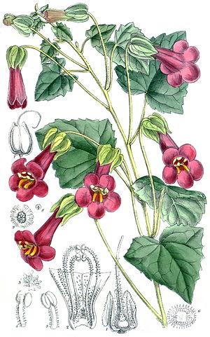Lophospermum - Lophospermum purpusii