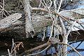 Lots of Western Cottonmouth (Agkistrodon piscivorous) - Flickr - GregTheBusker.jpg