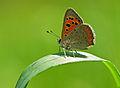 Lycaena phlaeas - Small Copper.jpg