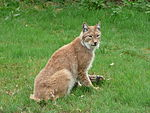 Lynx lynx with meat in Howletts Wild Animal Park.jpg