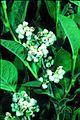 Lyonia-ligustrina-RHW.jpg