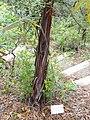 Lyonothamnus floribundus ssp. asplenifolius - University of California Botanical Garden - DSC09000.JPG
