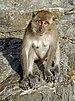 Macaca fascicularis Ao Nang 7.jpg