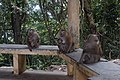 Macaque Monkeys from Monkey Hill, Phuket, Thailand (45007218995).jpg