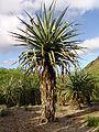 Macdougals Giant Century Plant - Furcraea macdougalii (3594540635).jpg