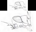 Macho con cuernos y sin cuernos de escarabajo O. taurus.png