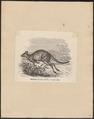 Macropus thetidis - 1700-1880 - Print - Iconographia Zoologica - Special Collections University of Amsterdam - UBA01 IZ20300027.tif