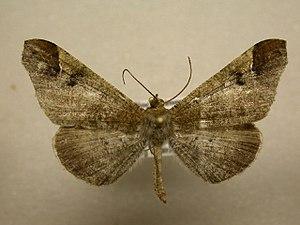 Hedylidae - Macrosoma bahiata