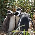 Magellanic Penguin grooming chicks (5541457738).jpg