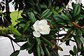 Magnolia, Pazo de S. Marcos, Dep. de Lugo.jpg