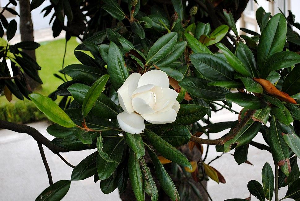 Magnolia, Pazo de S. Marcos, Dep. de Lugo