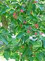 Magnolia acuminata fruit.jpg