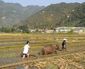 Agriculture in Vietnam - Image: Mai Chau Arbeit mit Wasserbüffel im Reisfeld