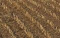 Maize stubs 02.jpg