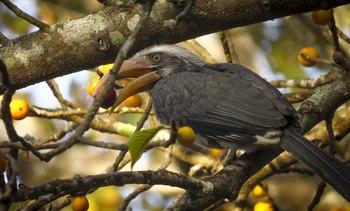 Malabar grey hornbill.tif