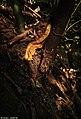 Malabar pit viper yellow morph by Nihal jabin.jpg