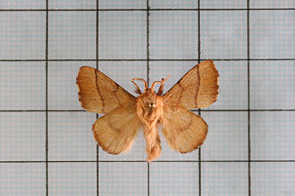 Lackey moth - Wikipedia