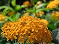 Malaysia - Penang Butterfly Gardens - 24 - pretty flowers (5208368299).jpg