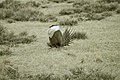 Male Greater Sage-Grouse (7094257821).jpg