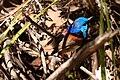 Malurus lamberti -Royal National Park, Australia -male-8.jpg