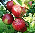 Malus - Roter Pariner am Baum.JPG