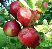 Malus - Roter Pariner am Baum.JPG
