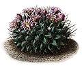 Mammillaria meiacantha BlKakteenT47.jpg