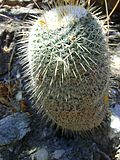 Mammillaria supertexta (5758432761).jpg