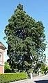 Mammutbaum in der Schillerstrasse.JPG