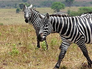 Plains zebra - Maneless zebras (E. q. borensis) are the northernmost and generally the darkest form of the plains zebra