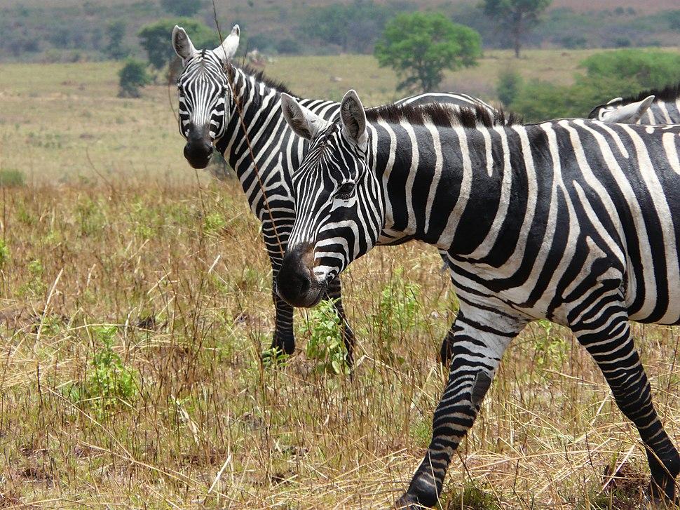 Maneless zebras at Kidepo Valley NP - Uganda