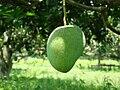 Mango Bangladesh (3).JPG