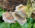 Many-zoned Polypore. Coriolus versicolour - Flickr - gailhampshire (1).jpg