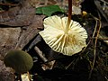 Marasmius delectans (359898).jpg