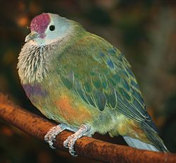 Mariana Fruit Dove 058.jpg