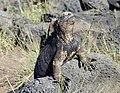 Marine Iguana (46956464444).jpg