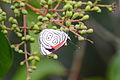 Mariposa 88, Diaethria clymena (9495642949).jpg