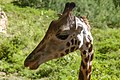 Masai giraffa at haller park mombasa 2.jpg