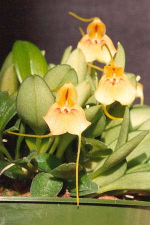 Masdevallia pteroglossa